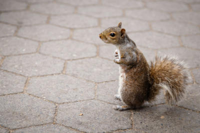 New York - Manhattan - Squirrel